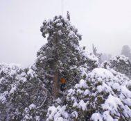 75 Metre Boyunda ve 3200 Yaşında Olan Ağaç 32 Gün Sonra Tek Kareye Sığdırıldı!