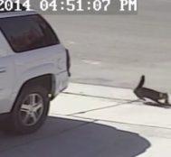 Köpek Saldırısına Uğrayan Çocuğun Kedisi, Saldıran Köpeğe Asla Unutamayacağı Bir Ders Veriyor!
