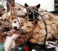 Bu Ülkede Geçen Sene 10.000 Köpek Festival Nedeniyle Kesildi.. Ve Bir O Kadar Köpek Daha Bu Sene Festivale Kurban Edilecek!