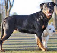 Kendisinin Yarısı Kadar Olan Bu Terrier'den Hamile Kalan Rottweiler'ın Yavrularını Mutlaka Görmelisiniz!