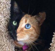 Bu Kedi Görenleri Şaşkına Çeviriyor.. İşte İki Farklı Yüz Ayrımına Sahip Venüs İsimli O Kedi!