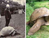 1832 Yılında Doğan ve Şu Anda 182 Yaşında Olan Meşhur Kaplumbağa Jonathan'ı Mutlaka Görmelisiniz!