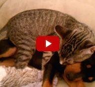 Bu Kedi Tüm Gün Veterinerdeki Köpek Dostunu Evde Bekledi.. Ve Bakın Köpek Geldiğinde Ne Yaptı