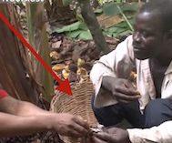 Geçimini Kakao Çekirdeği Toplayarak Sağlayan Bu İşçiler İlk Defa Çikolata Tadarken Görüntülendi