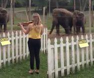 Bu Kadın Kemanını Alıp Fillere Küçük Bir Dinleti Sunar.. Fillerin Tepkisiyse Müziğin Evrenselliğini Doğrular Nitelikte!