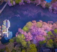 Tokyo'nun Inokashira Göl Parkı'ndaki Kiraz Çiçeği Seli Görenleri Büyülüyor
