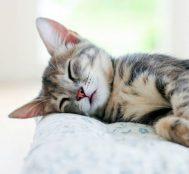 Meziyetlerini Öğrendiğinizde Hemen Sahiplenmek İsteyeceğiniz En Popüler 10 Kedi Cinsi