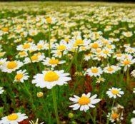 Çiçeklerin Anlamları – Favori Çiçeğiniz Sizin Hakkınızda Neleri İfşa Ediyor, Öğrenin!